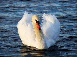 swan-2515_960_720